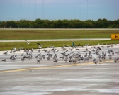 2009.10.30_GullsOnAirfield2