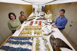 Dr. Carla Dove's aviation birdstrike team studying bird skins in